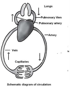 Transportation in animals and plants cbse science class 7 chapter the walls of the chambers of the heart are made up of muscles these muscles contract and relax rhythmically this rhythmic contraction followed by its ccuart Choice Image